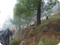 Sheep_in_mountains1